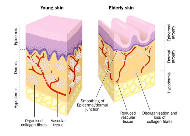Young Skin vs. Old Skin
